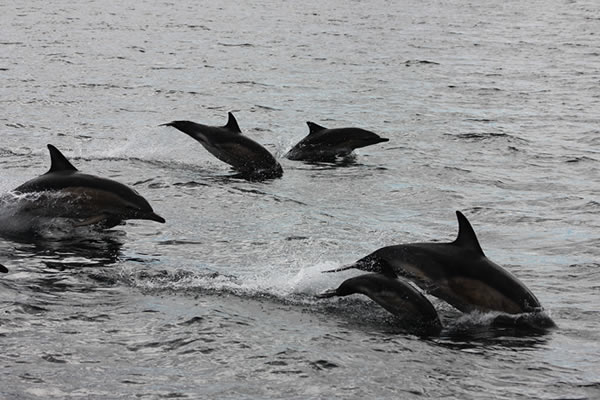 Dolphin Loch Broom