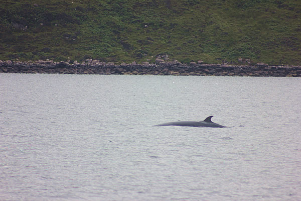 Minke Whale in Loch Broom