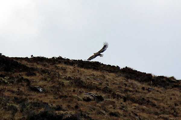 Sea Eagle Across Loch